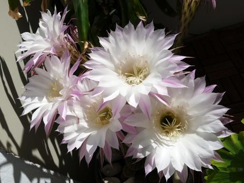 2011-09-18_kaktusblueten