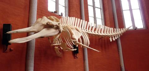 Skelett eines Entenwals