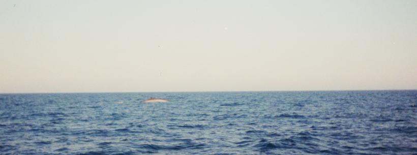 Finnwal in der Ferne