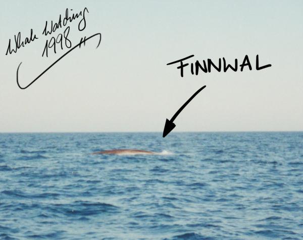 Finnwal im Mittelmeer 1998