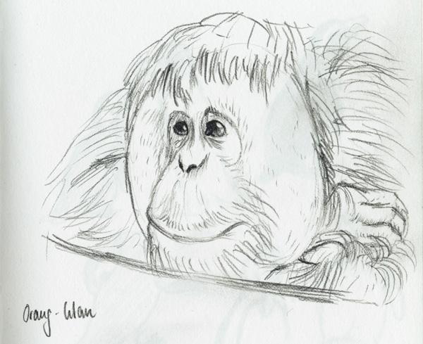 Zeichnung Orang-Utan