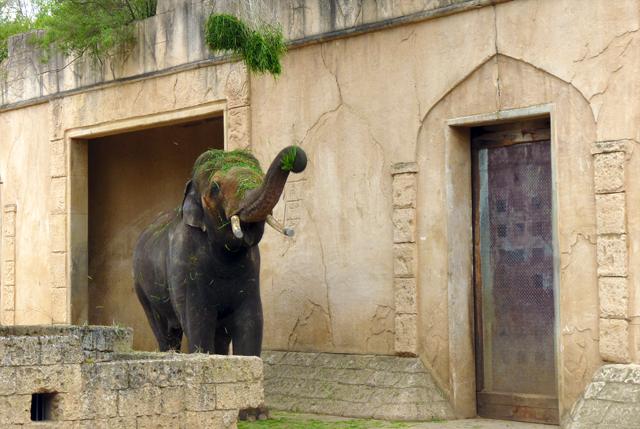 Elefantenbulle im Zoo Hannover