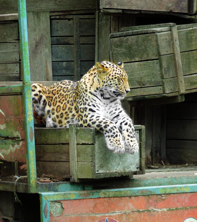 Leopardenweibchen entspannt