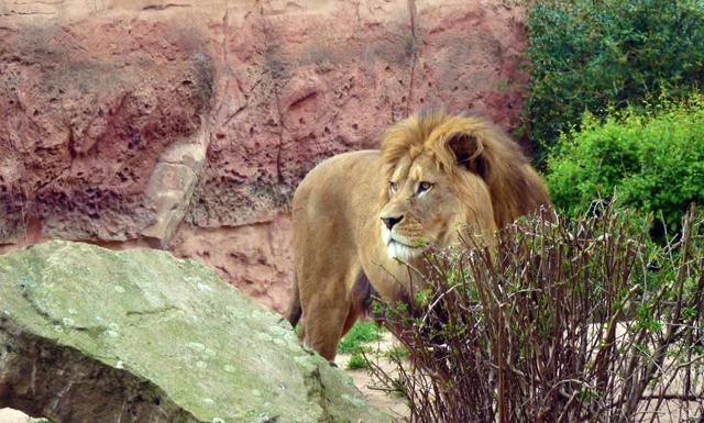 Stolzer Löwe im Zoo