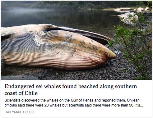 Walstrandung in Chile