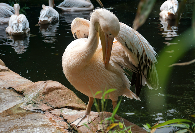 Pelikan im Zoo Hannover